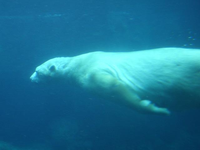 Bear_torpedo